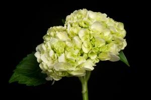 Hydrangea From Holland