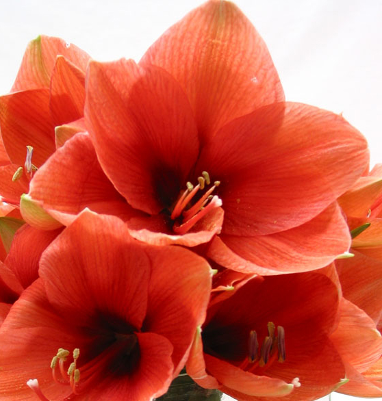 The Glorious Amaryllis