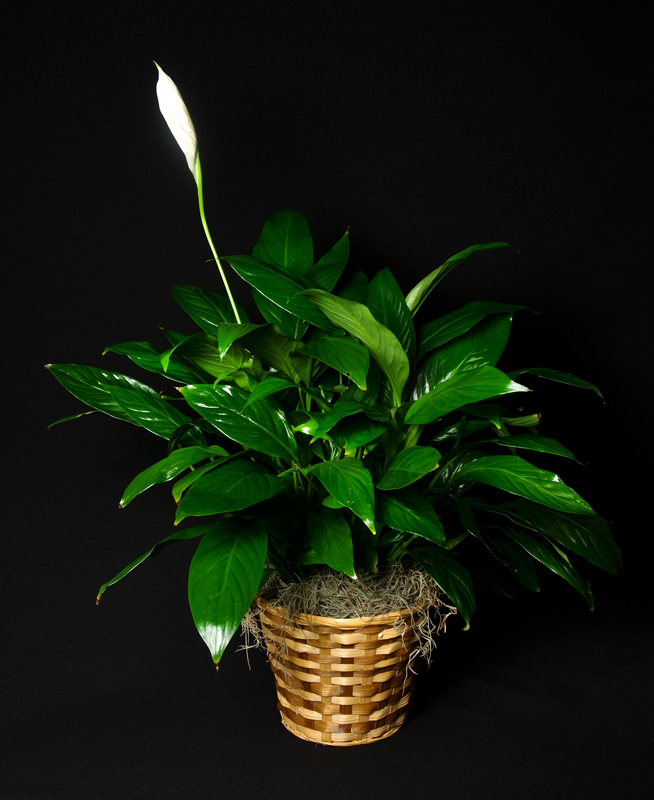 the peace lilly u2013 simple care ideal plant - Peace Plant Care