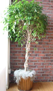 Ficus Trees...