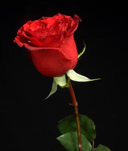 https://starbrightfloral.files.wordpress.com/2011/06/rose-red.jpg?w=860