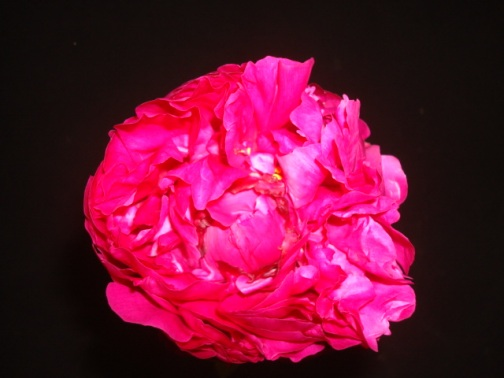 Peony season is almost over!