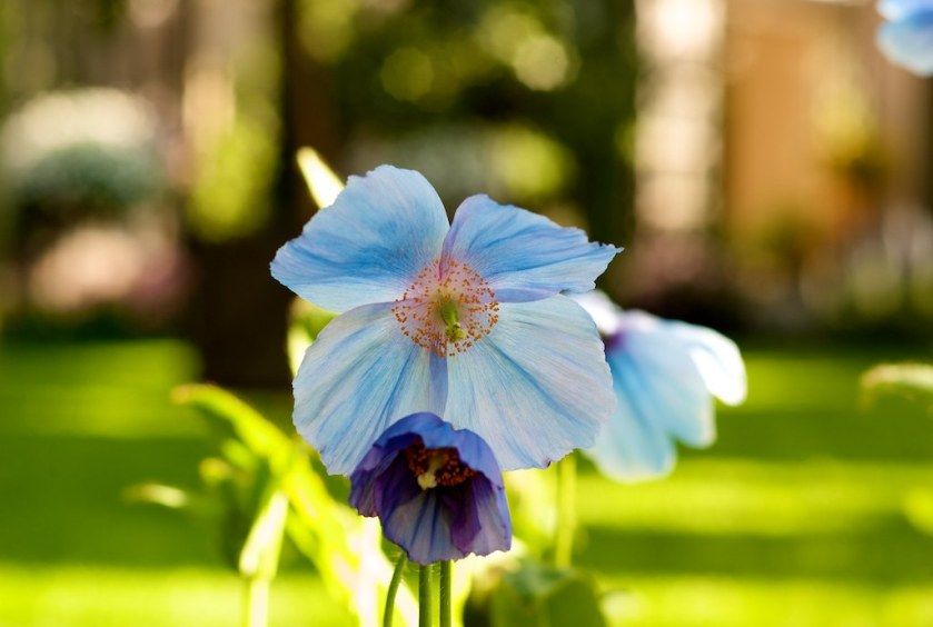 "The Blue Poppy is Bhutan's national flower - (""Creative Commons Meconopsis"" photo by Tony Takitani)"
