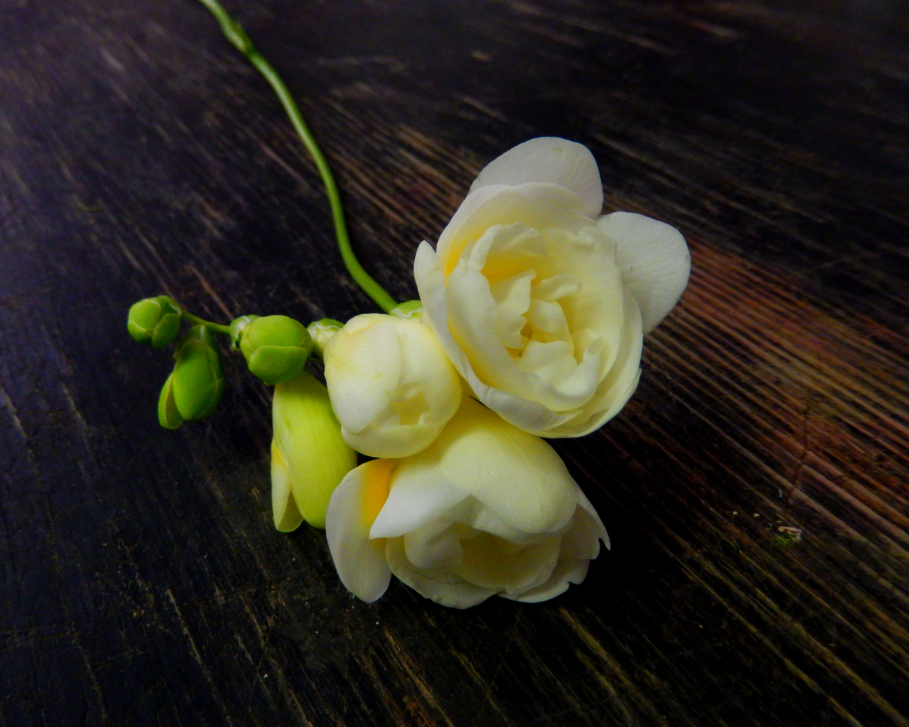 Freesia Blooming Thoughts