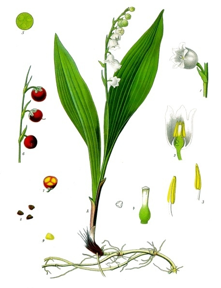 illustration of a lily of the valley