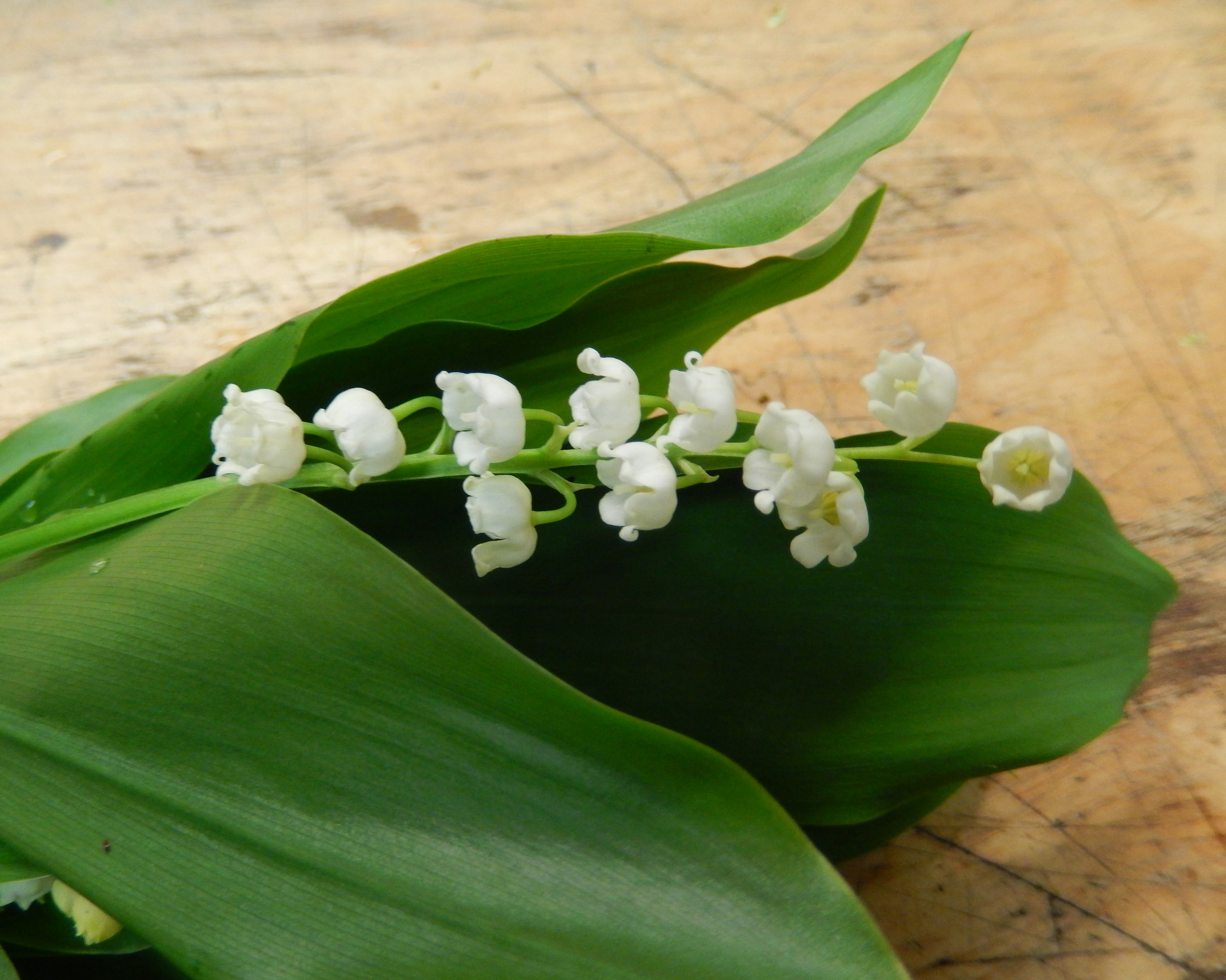 Lily of the valley blooming thoughts lily of the valley izmirmasajfo Gallery