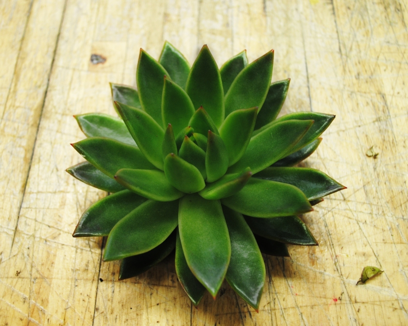Succulent at Starbright Floral Design