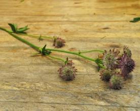 Astrantia bloom