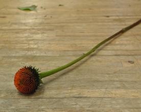 Echinacea cone