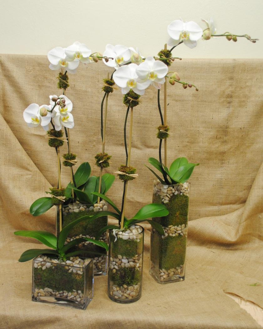 modular Phalaenopsis Orchids