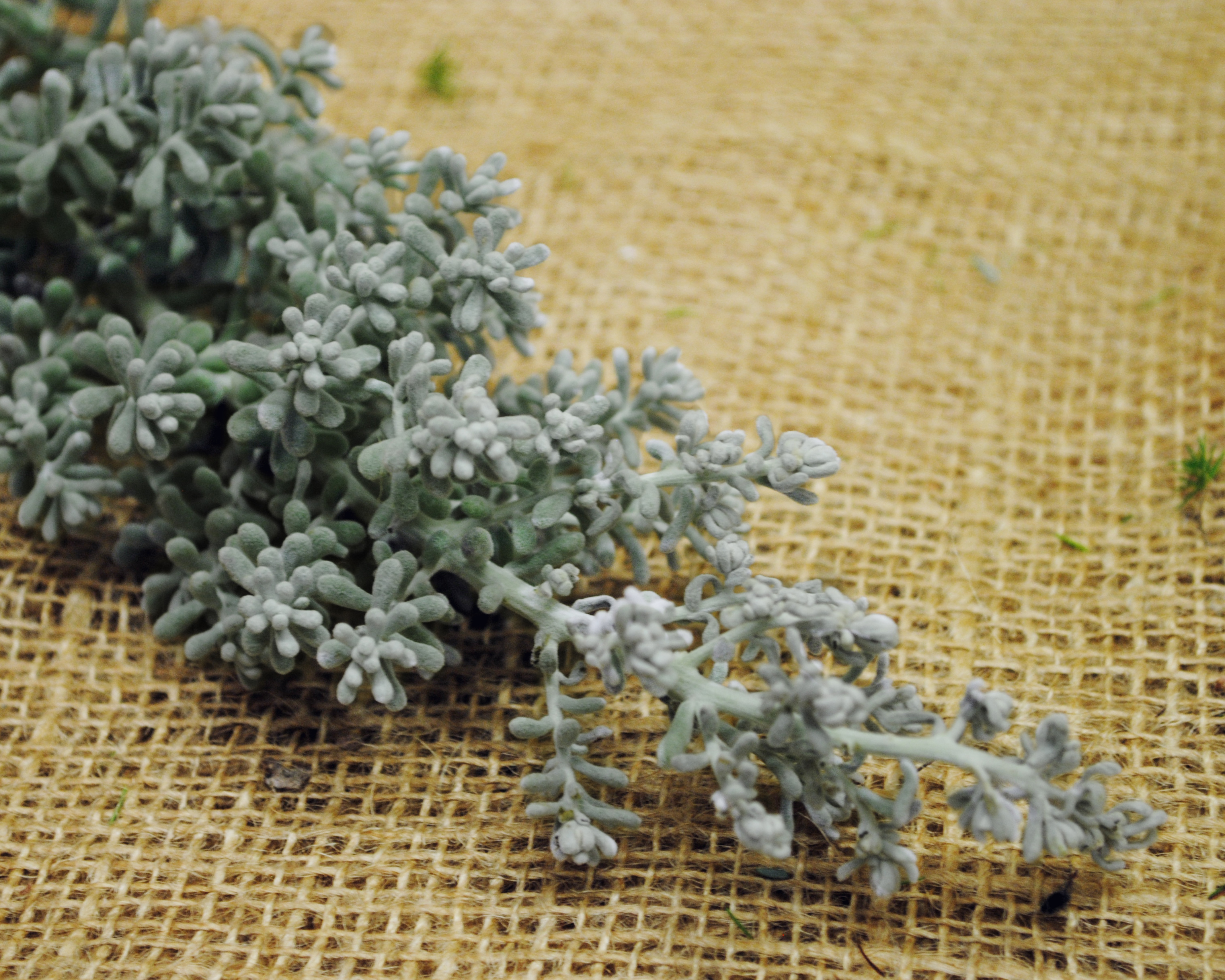 Flower File : Kochia Scoparia – Blooming Thoughts