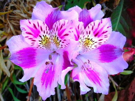 Lavender and white Alstroemeria are stunning with their showy blossoms.