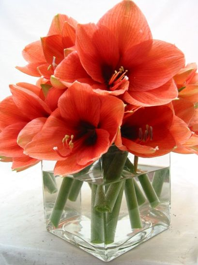 Amaryllis is a fantastic choice to send to someone you love.