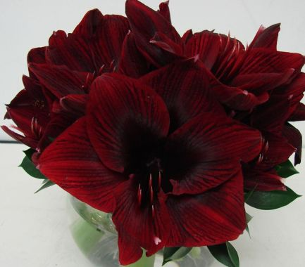 Crimson Amaryllis was said to have sprung from the love of a nymph.