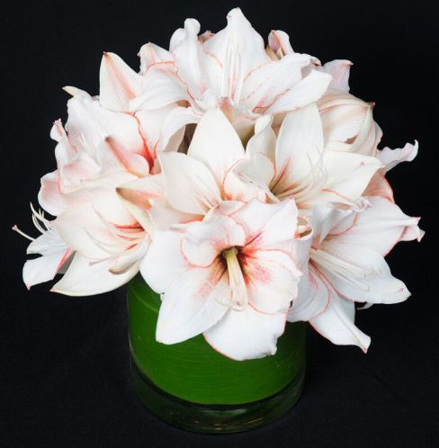 Gorgeous Amaryllis has a wonderful Greek legend to go along with its beauty.